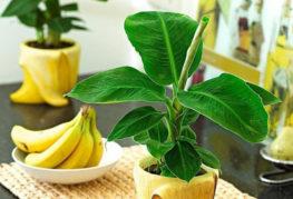 Декоративен банан в саксия