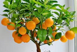Мандариново дърво с плодове