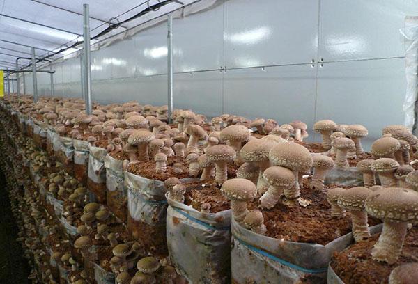 Отглеждане на гъби в оранжерия през зимата