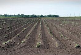 Хлабни картофи