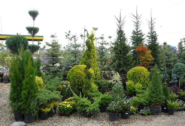 Декоративни разсад на дърво