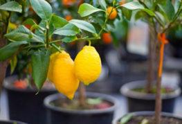 Саксийни лимони