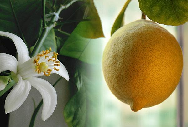 Лимонено цвете и плодове