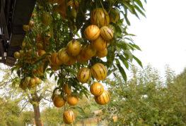 Пепино плод на клон