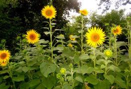 Цъфтящи слънчогледи