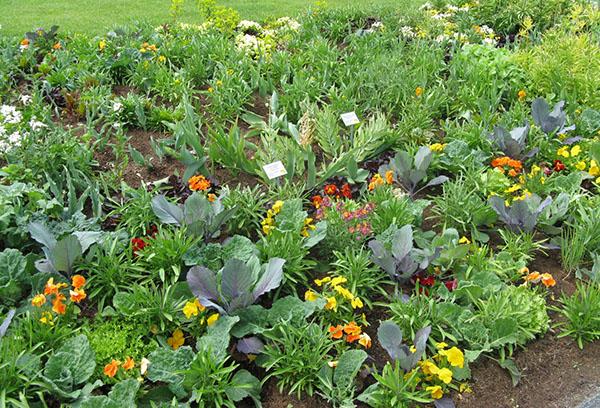 Плътно засаждане на зеленчуци и зеленина