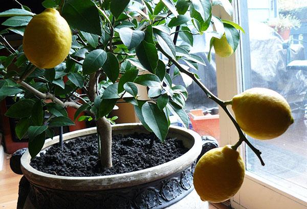 Вътрешен лимон с плодове