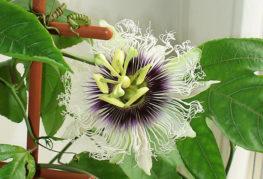 Страстно цвете