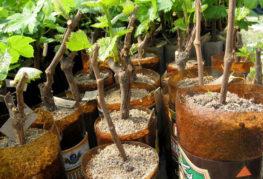 Вкоренени гроздови резници