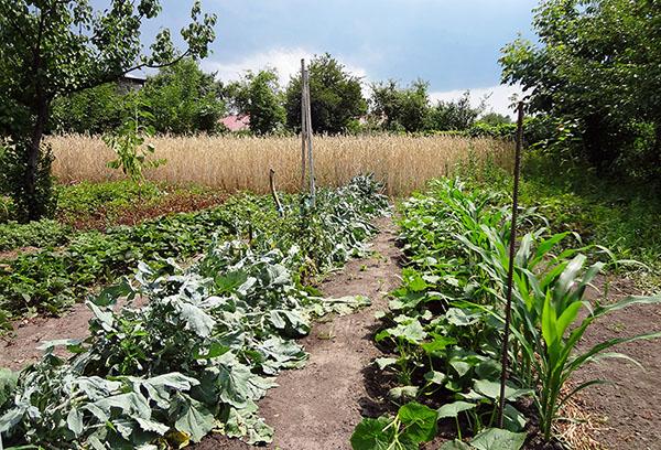 Краставици до царевица в градината