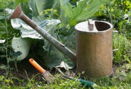 Поливане и подхранване на зеле