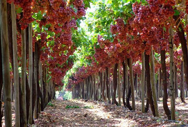 Плододаване на грозде