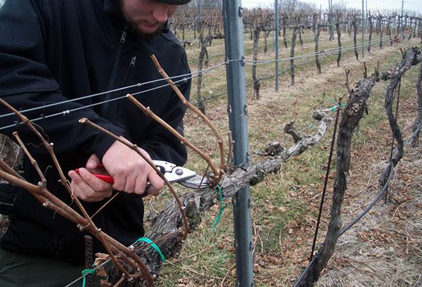 Подрязване на грозде