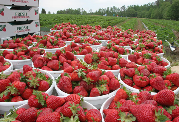 Реколта от ягоди