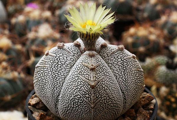Кактус astrophytum