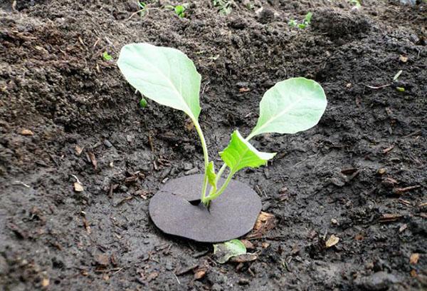 Карфиол в градината
