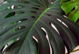 Филодендрон лист
