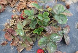 Ягодов храст, повреден от нематода