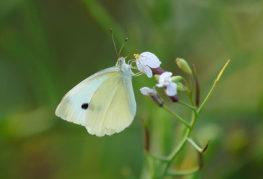 Ряпа бяла пеперуда
