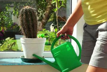 Поливане на кактус през лятото