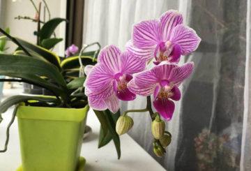 Цъфтяща орхидея на перваза на прозореца