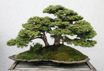 Бонсай дърво