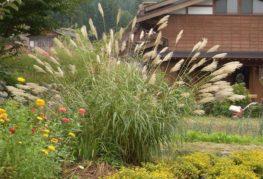 Тропическо зърнено растение на място