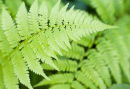 790 × 593 Изображенията могат да бъдат обект на авторски права Garden fern в страната