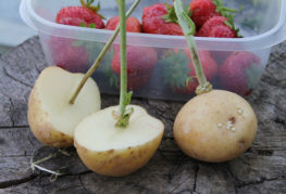 Розови резници в картофени клубени