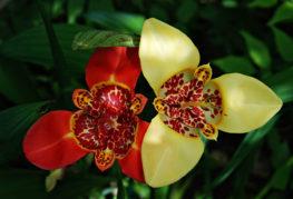 Две цветя от тигридия