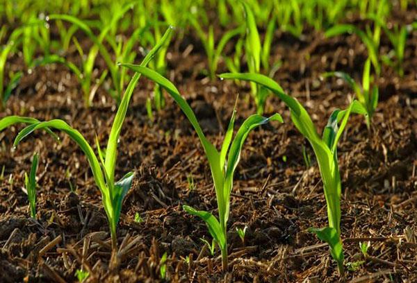 Разсад върху почва, оплодена с оборски тор