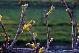 Грозде през пролетта