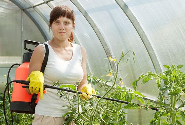 Пръскане на домати в оранжерия