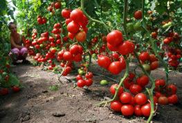 Реколта неопределени домати
