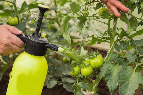 Пръскане на домати