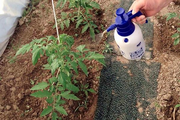Пръскане на домати в градината