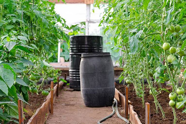 Бурета за поливане на домати