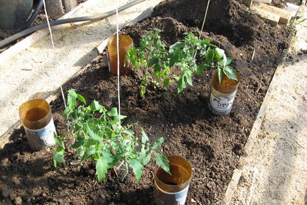 Капна поливане на бутилка в градина с домати