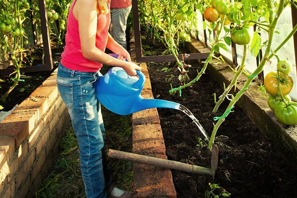 Поливане на неопределени домати