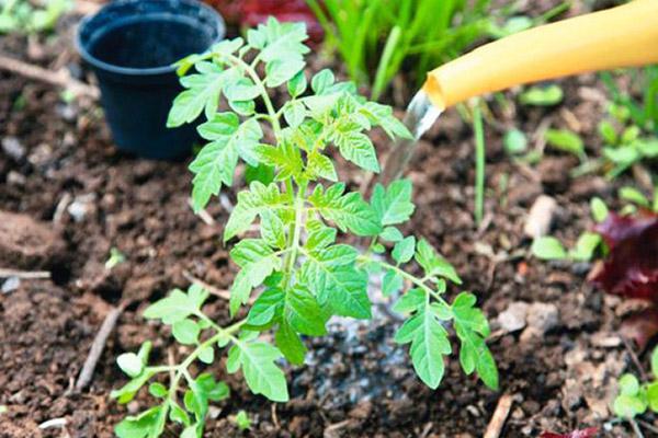 Поливане на млад доматен храст
