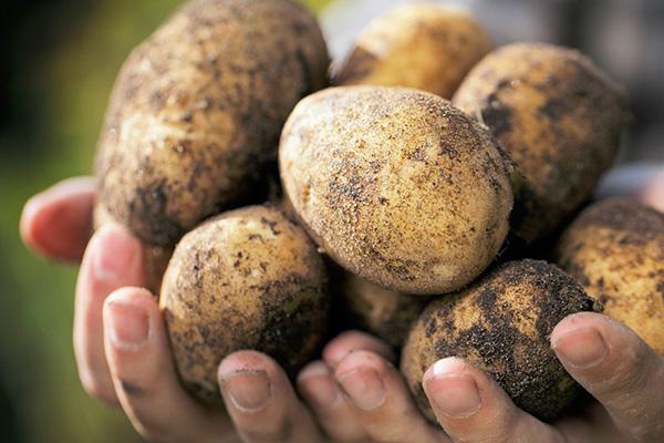 Картофи в ръце