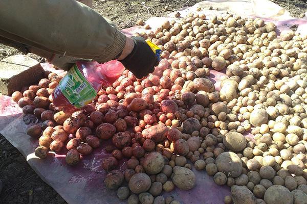 Обработка на картофи преди засаждане