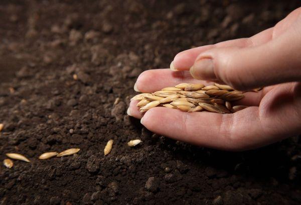 Семена от краставици