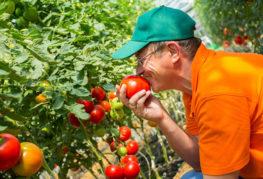 Агроном с домати