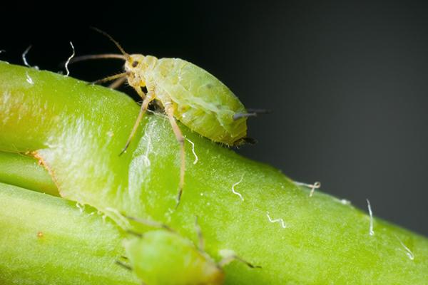 Зелен листна въшка