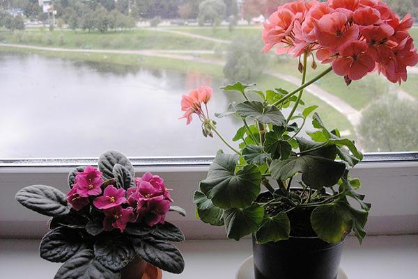 Виолетка и здравец на перваза на прозореца
