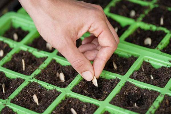 Засаждане на тиквени семки