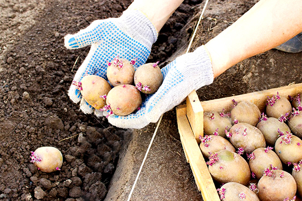 Засаждане на покълнали картофи