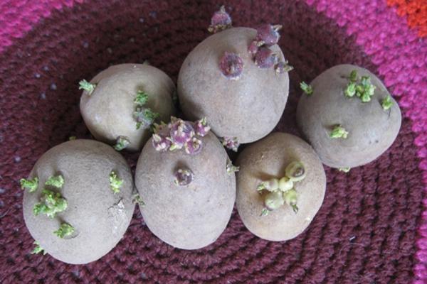Покълнали грудки картофи