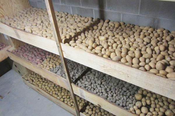 Засадете картофи в мазето